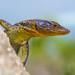 Lizard in Tsitsikamma National Park