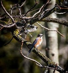 Fade to Winter (Portraying Life, LLC) Tags: dbg6 da3004 hd14tc k1 michigan pentax ricoh unitedstates bird closecrop handheld nativelighting matthaeibotanicalgardens migrant