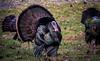 Wild Turkey in New Jersey!! (Dotsy McCurly) Tags: wild turkey nj newjersey animal grass front yard colorful nature beautiful feathers nikond750 tamron18400mmf3563 7dwf fauna