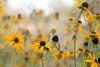 Rudbeckia (Sara@Shotley) Tags: garden plant rudbeckia yellow daisy autumn fall nature depthoffield bokeh soft gentle colourful season