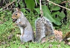 Thinking ahead. (pstone646) Tags: squirrel nature animal wildlife fauna ashford kent collecting closeup mammal rodent