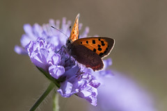 Small Copper (Tim Melling) Tags: lycaena phlaeas small copper butterfly field scabious south yorkshire timmelling