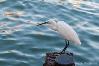 Little Egret ©