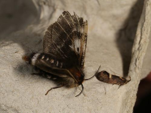 Nataxa flavescens and Leistomorpha brontoscopa