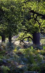 Forest (CJPhotography UK) Tags: nature natur natural outdoors outdoor landscape forest forests wood woods woodland tree trees treeline treetop sun sunlight shadow light lighting london canon colours colourful vibrant fern ferns green yellow flora