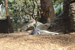 Känguru / Taronga Zoo