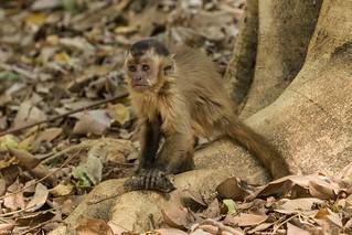 Macaco preto jovem