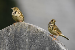 Meadow Pipits (Greg Bradbury) Tags: meadowpipits devon cornwall wildlife nature birds wild