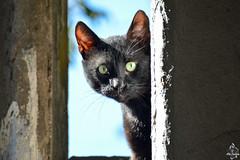Chat noir (Ath Salem) Tags: algérie algeria argelia nikond5200 northafrica afriquedunord afrique africa الجزائر chat cat kedi gato gatto قط blackcat chatnoir