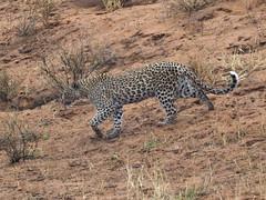 PA042447 adj Leopard (Joanna P Dale) Tags: kgalagaditransfrontierpark matamata olympus omdem1mkii panasonic100400 africanleopard leopard
