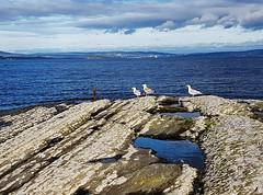 Seagulls on Rabben, Vollen 12th Oct (margret_andersen) Tags: seagulls rabben vollen asker norway oslo oslofjord fiord inneroslofjord rockpools