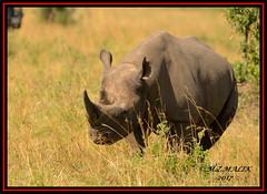 BLACK RHINOCEROS (Diceros bicornis).....MASAI MARA.....SEPT 2017 (M Z Malik) Tags: nikon d800e 400mmf28gedvr kenya africa safari wildlife masaimara keekoroklodge exoticafricanwildlife rhino ngc npc