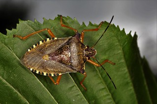 Pentatoma rufipes, le pentatome à pattes rousses, the red-legged shielbug.