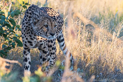 Backlit Cheetah on the prowl-0358 (Acinonyx jubatus) (dennis.zaebst) Tags: africa namibia cheetah cat animal wild naturesspirit naturethroughthelens explore naturescarousel