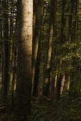 Woodland light (l4ts) Tags: landscape derbyshire peakdistrict darkpeak beeley autumn smeltingmillwood trees shadowsandlight larchtrees appickoftheweek