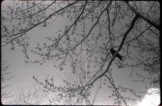 a Vancouver crow