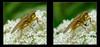 Life Is Golden 2 - Parallel 3D (DarkOnus) Tags: dmcfz35 camera parallel pennsylvania buckscounty panasonic lumix 3d stereogram stereography stereo darkonus closeup macro insect chacha flydayfriday fly day friday hfdf fdf scathophaga stercoraria diptera