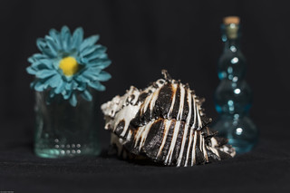 Still Life with Sea Shell