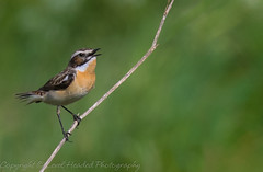 Whinchat - (Saxicola rubetra) (hunt.keith27) Tags: saxicola rubetra whinchat small perching bird hops runs rominent white stripe above eye streaky brown warm orangebuff summer visitor passage migrant