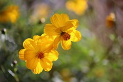 Énergie Solaire (Callie-02) Tags: nature lumière plante couleurs bokeh profondeurdechamp canon macro extérieur jardin yellow jaune fleurs