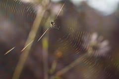 Colorful World Wide Web. For a tiny spider. (Gudzwi) Tags: spinne spider worldwideweb backlight gegenlicht garten garden sonnenlicht sunlight herbst autumn 7dwf 7dwfsundaysfauna blur blurry verschwommen unschärfe www sunrays sonnenstrahlen fauna web netz spiderweb spinnennetz