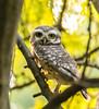 Spotted owl (Mohsan Raza Ali Baloch) Tags: birds islamabad pakistan mohsan raza ali mohsans nature wild wildlife birding birdlover naturelover