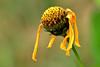 quel che resta (luporosso) Tags: natura nature naturaleza naturalmente nikon nikonitalia nikond500 imdifferent fiori fiore flowers flower flor flores margherita daisy