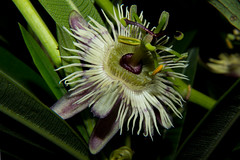 Passiflora pardifolia (betadecay2000) Tags: beta passiflora blue passionflower passifloaraceae flower bloom plant fleur maracuja passionsfrucht blühen blüte blüten kletterpfanze paraguay america amerika südamerika south outdoor pflanze