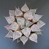 Haworthia major 'Onyasha' ex Japan (ex S.T.C./Netherland 81139, 24.12.2013) (igormilekhin) Tags: haworthia major onyasha emelyae succulent plant leaf pattern stc cultivar japan