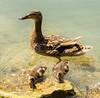 Last summer - babysitter. (joningic) Tags: hungary summer duck ducks babysitter birds water lake baltaton balatonfured