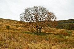 Autumn Oak (cmw_1965) Tags: oak deciduous tree autumn fall hirfynydd mountain dulais valley west glamorgan south wales welsh common moor hillside mountainside bare grey gray sky skies overcast cloudy rushes rush nantycafn nant cafn bleak