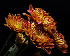Resistance 1019 (Tjerger) Tags: nature beautiful beauty black blackbackground bloom blooming blooms brown closeup fall flora floral flower flowers green macro mum pink plant portrait wisconsin yellow mums resistance natural