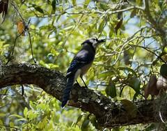 Blue Jay Cyanocitta cristata (gailhampshire) Tags: blue jay cyanocitta cristata taxonomy:binomial=cyanocittacristata