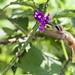 Hermit sp., Manu Wildlife Center, Madre de Dios