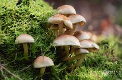 macro-10 (Explorer) (Javier Colmenero) Tags: bizkaia euskadi macrophotography nikon nikond7200 sigma sigma105mm urkiola vizcaya bokeh desenfoque macro macrofotografia mushrooms naturaleza nature setas abadiano paísvasco españa es