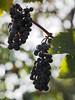 winogrona Weintrauben UHUdler (arjuna_zbycho) Tags: winogrona weintrauben uhudler weintraubensorteuhudler