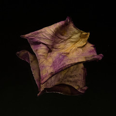 Dried and brittle (Robin Penrose - Canadian eh?) Tags: 201711 texture reflection rosepetal