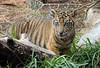 Observant Cub (greekgal.esm) Tags: sumatrantiger tiger bigcat cat feline animal mammal carnivore sandiegozoosafaripark sandiegozoo safaripark sdzsafaripark sdzglobal sandiegozooglobal endextinction escondido sony rx10m3 rx10iii cub babyanimal