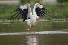 stork (leonardo manetti) Tags: uccello acqua lago wild wildlife nikon d500 animals animal nature bird birds