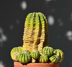 Echinopsis subdenudata (ecos de pedra) Tags: echinopsis echinopsissubdenudata