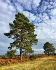 Pine Trees (Marc Sayce) Tags: clouds monterey pine woolmer ranges forest conford longmoor south downs national park hampshire summer autumn september 2017