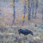 Bull moose in the aspen trees during a blizzard, Grand Teton National Park, Wyoming thumbnail