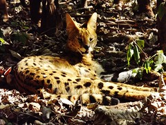"""Serval Cat • <a style=""""font-size:0.8em;"""" href=""""http://www.flickr.com/photos/152934089@N02/23762015568/"""" target=""""_blank"""">View on Flickr</a>"""