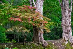 A Japanese Maple Tree at the Butchart Gardens, British Columbia, Canada (takasphoto.com) Tags: apsc america brentwoodbay britishcolumbia butchartgardens canada color fallenleaves floraldisplaygarden flower flowers foliage fuji fujixt1 fujixt1fujifilm fujifilm fujinon fujinonlensxf18135mmf3556rlmoiswr fujinonxf18135mmf3556rlmoiswr green greenplants hoja japanesegarden jenniebutchart kingdomplantae leaf leaves lens lifestyle mirrorless mirrorlesscamera nature northamerica outdoor plantae robertpimbutchart thebutchartgardens theitaliangarden therossfountain tree trees vancouverisland verde victoria xmount xt1 xtranscmosii xtransii xf18135 みどり フジノン フジフィルム ブッチャート・ガーデン ミラーレス ライフスタイル 北米 庭園 植物 植物園 紅葉 緑 緑色 翠 自然 落葉 葉
