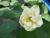 Nelumbo nucifera 'Huang Mu Dan' Lotus Klong15 004 (Klong15 Waterlily) Tags: huangmudan sacredlotus flower lotusflower thailotus nelumbo nucifera nelumbonucifera yellowlotus