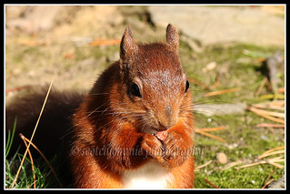 IMG_0022 Red Squirrel