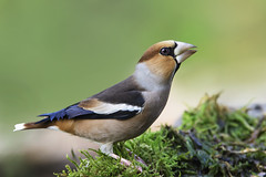 Frosone - Hawfinch (pas.sionphoto) Tags: