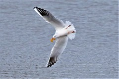 chase me chase me i've got the leaf (stellagrimsdale) Tags: seagull leaf chase playing tag yellow water lake wings feathers gull seabird