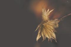 slow burning love (rockinmonique) Tags: seed seedhead golden lowkey fuzzy light caramel coppery moniquew canon canont6s tamron copyright2017moniquew
