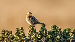 Le Conte's Sparrow [Explored] (Bob Gunderson) Tags: ammodramusleconteii birds blufftop california halfmoonbay lecontessparrow northerncalifornia peninsula sanmateocounty sparrows sparrowsjuncostowhees